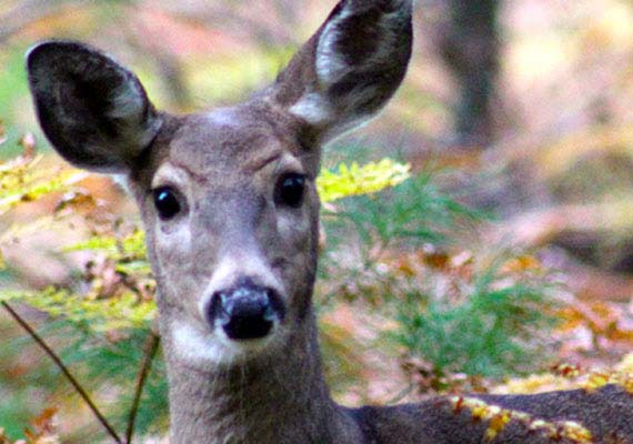 "Deer, by nature, are curious animals. ""Deer in Fall, ""  Grayling, Michigan."